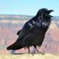 RavenSpeaks