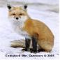 Cat_Eyed_Fox