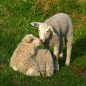 Romantic_Sheep