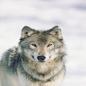 Wolf443