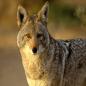 CoyoteStarrk26